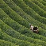 Чайные кусты и изготовление чая