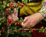 История производства кофе
