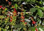 Как растут кофейные деревья?